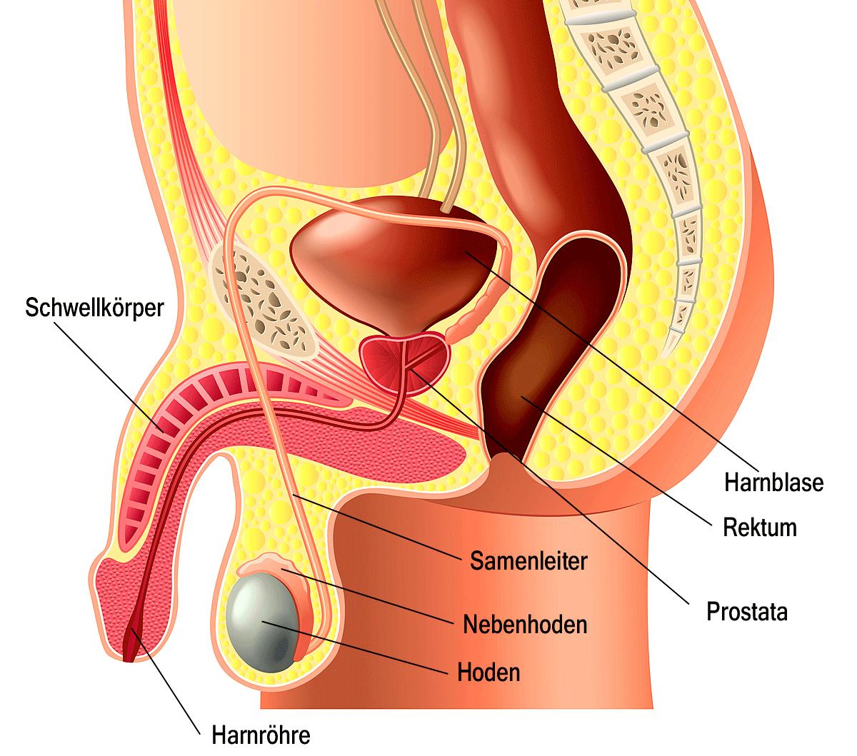 Schematische Darstellung des Penis und umgebender Organe