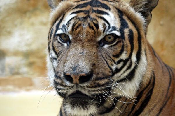Malaysia-Tiger, über dts Nachrichtenagentur